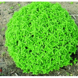 Basilic Herbalea Green Ball