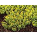 Sedum Mexicanum Gold Mound