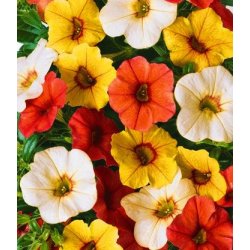 Calibrachoa Hawaiian Fruit Bowl