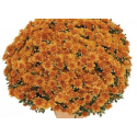 Chrysanthème Orange