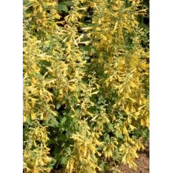 Agastache Aurantiaca Sunset Yellow