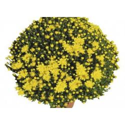 Chrysanthème Estivale Rando Jaune