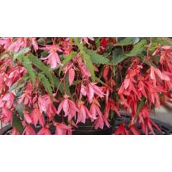Begonia Boliviensis Bossa Nova Rose