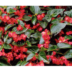 Begonia Dragon Wing Hybrida Dragon Wing Red