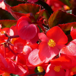 Begonia Big Red Bronze Leaf