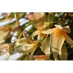Begonia Summerwings Vanilla