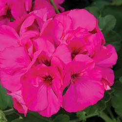 Achat en ligne de g ranium lierre fleur double coclicoh - Geranium lierre double ...