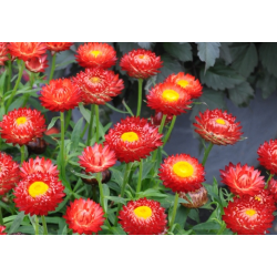 Bracteantha (Immortelle) Sunbrella Red