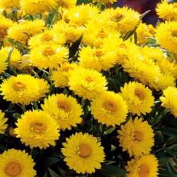 Immortelle jaune Totally Yellow