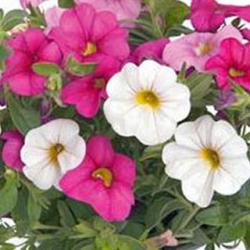 Petunia Confetti Garden Hawaiian Pink Fusion