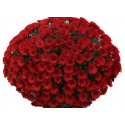 Chrysantheme Fructa Rouge