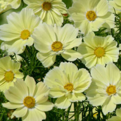 Cosmos Xanthos Yellow