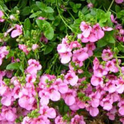 Diascia Flying Light Pink