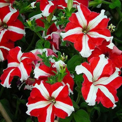Petunia Droit Parade Red White