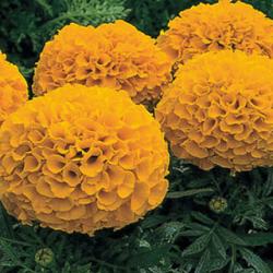 Rose d'Inde Antigua Orange