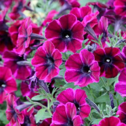 Surfinia Compact Sweetunia Johnny Flame