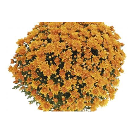 Chrysanthème Compact Songa Orange