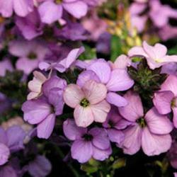 Giroflée Erysimum Poem Lavender
