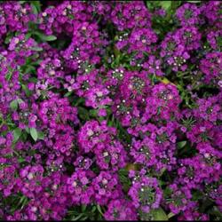 Alysse Purple Crystals