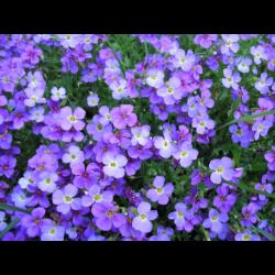 Aubrietes Gracilis Kitte Blue