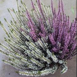Bruyère Calluna Garden Firls Bicolore