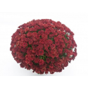 Chrysanthème Compact Xena Rouge