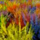 Bruyère Calluna Teintee 6 couleurs