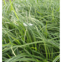 Carex Morrowii Ice Dance