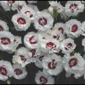 Dianthus Coconut Sundae