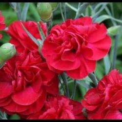 Dianthus Passion Pbr