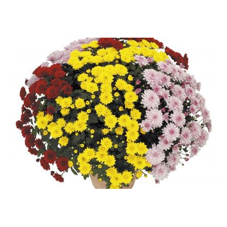 Chrysanthème Cocktails Compact Bacardi