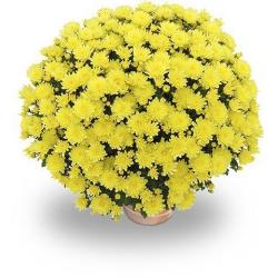 Petit Chrysanthème jaune citron