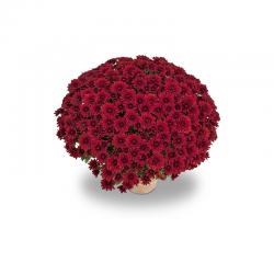 Petit Chrysanthème rouge bordeau