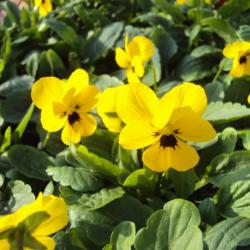Pensée Viola Sorbet xp jaune à macules
