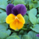 Pensée Viola Callisto f1 orange à ailes violettes