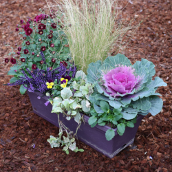 Jardinière Chrysanthème, Calluna bleu, Carex, Ajuga Reptans, Choux rose, Pensée