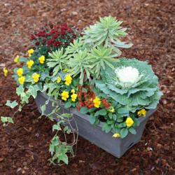 Jardinière Chrysanthème, Pensée, Lierre, Euphorbe, Calluna, Choux