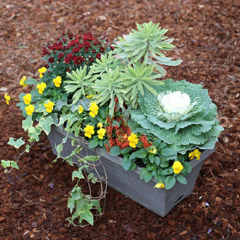 acheter jardini re chrysanth me pens e lierre euphorbe pas cher. Black Bedroom Furniture Sets. Home Design Ideas