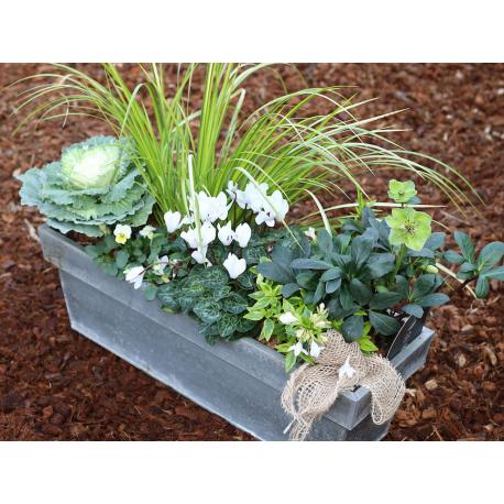 acheter jardini re choux acorus cyclamen lonicera pas cher. Black Bedroom Furniture Sets. Home Design Ideas