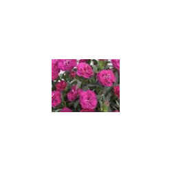 oeillet Dianthus roselly purple