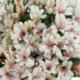 Alstroemère : Lys des Incas Inticancha 'White Pink Heart'