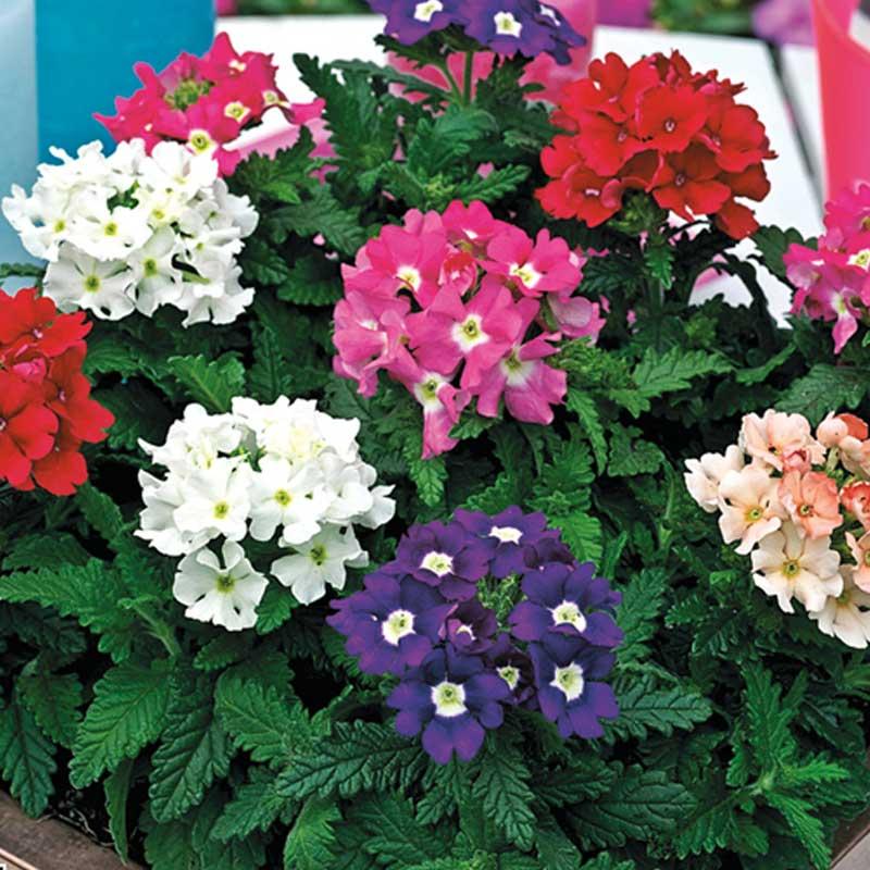 Acheter verveine droite obsession pas cher sur coclicoh for Plante verveine