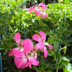 Geranium Lierre Simple Acapulco Rose