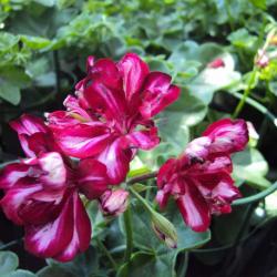 Achat en ligne de g ranium lierre fleur double coclicoh - Geranium lierre double retombant ...