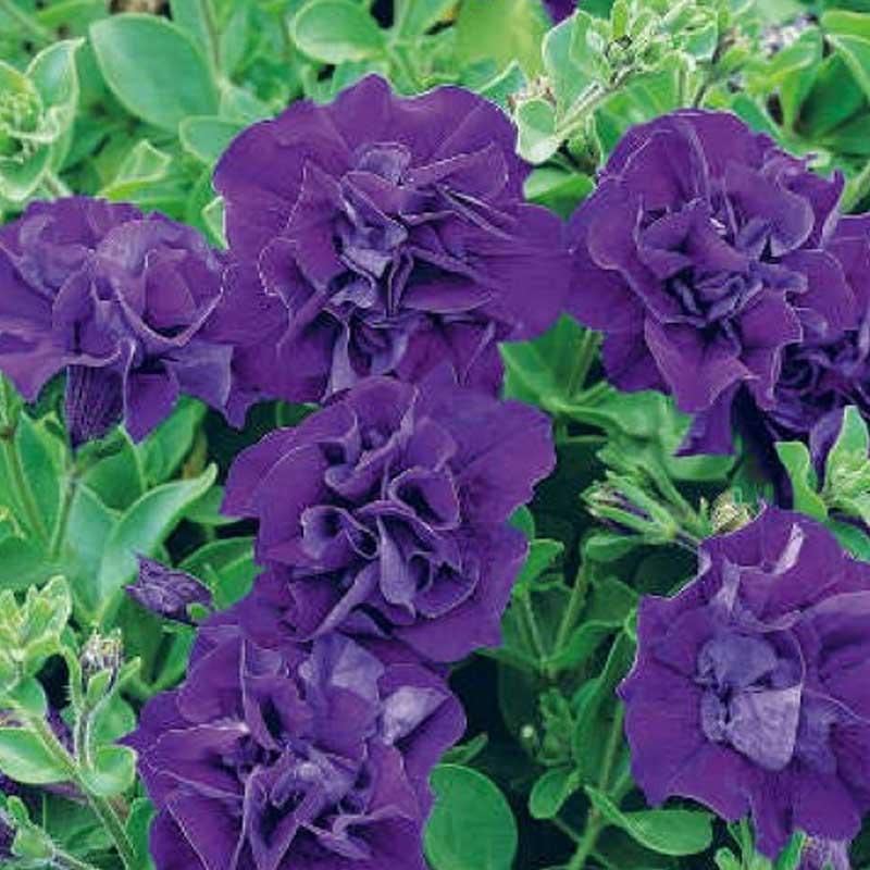 acheter petunia retombant surfinia star violet et autres plantes sur coclicoh. Black Bedroom Furniture Sets. Home Design Ideas