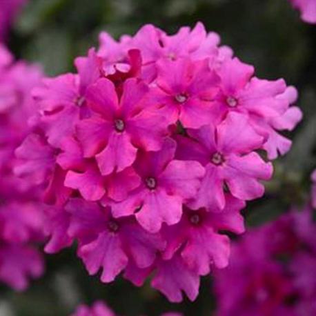 Acheter verveine endurascape magenta et autres plantes sur for Acheter plante sur internet