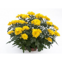 Chrysanthème Chrydance Bamba Abricot