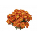 Chrysanthème Chrydance Flamenco Orange