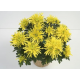 Chrysanthème Chrydance Fontana Jaune