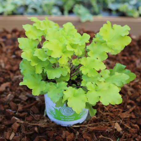 Pot plante Heuchère Lime Marmalade